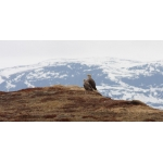 White-tailed Sea Eagle pair in Finnmark