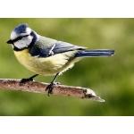 Blåmeis  ( Parus caeruleus)