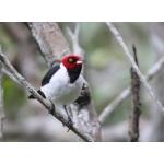 Rødhettekardinal - paroaria gularis