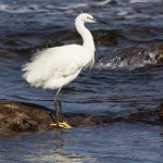 Silkehegre (Egretta garzetta)