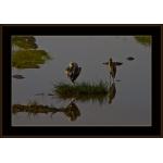 Yellowbilled Stork